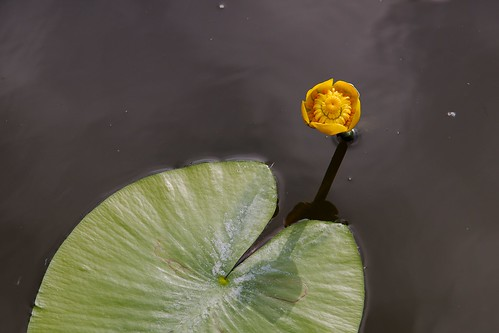 Nuphar lutea, the yellow water-lily