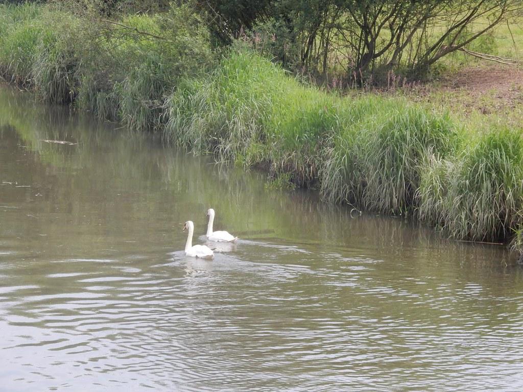 Swans Pulborough Circular