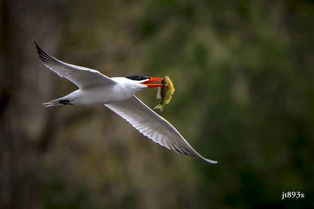 Caspian Tern with a fish