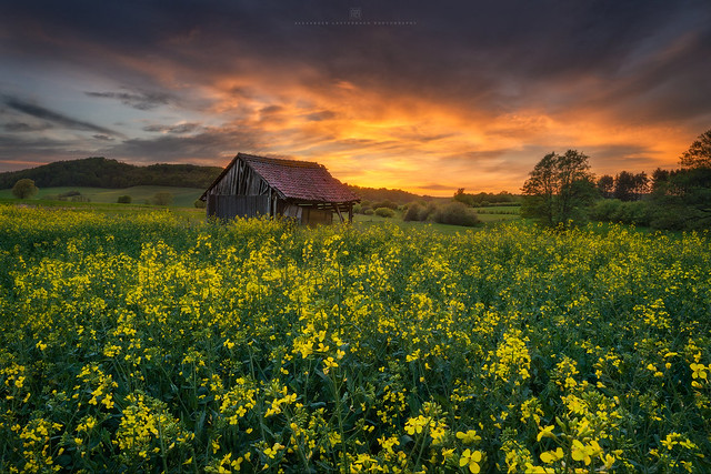 golden canola field sunset