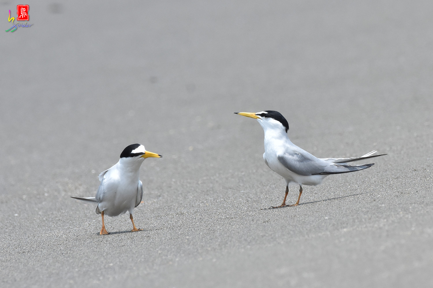 Little_Tern_8888