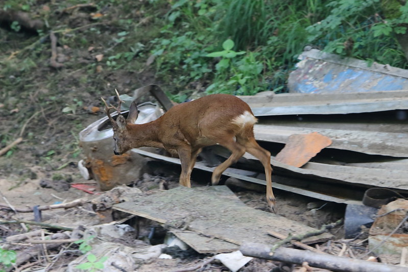 Roe Deer + rubbish