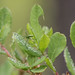 Tetragnatha viridis