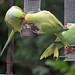 Parakeet (90) Taken through Caravan Window