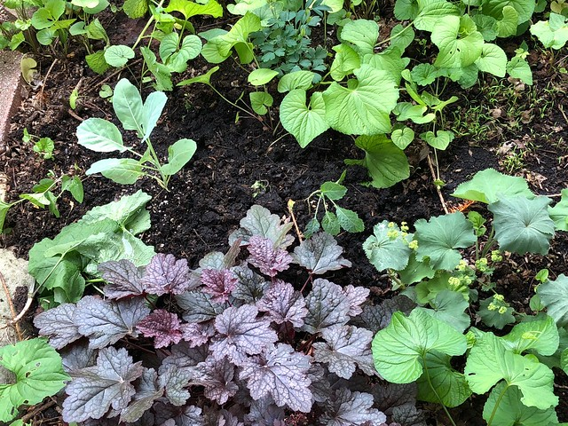 More collards and kale transplanted