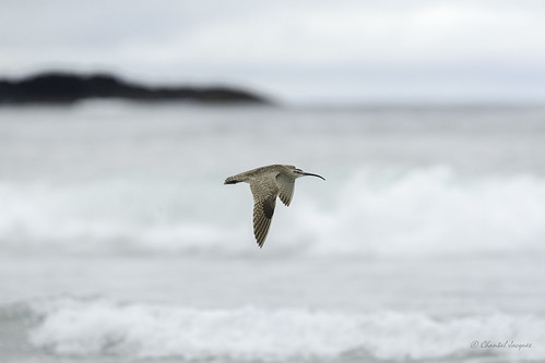 Flying by- A Whimbrel at the Beach -Tofino, BC