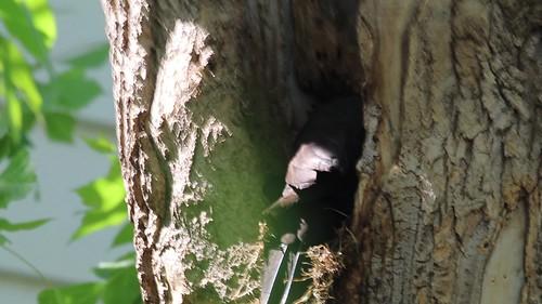 Pileated Woodpecker finding grubs in my box elder tree