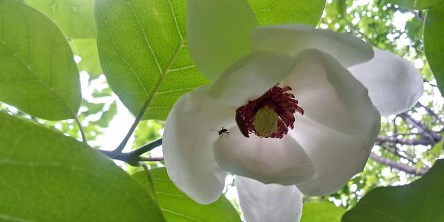 함박꽃 | 산목련