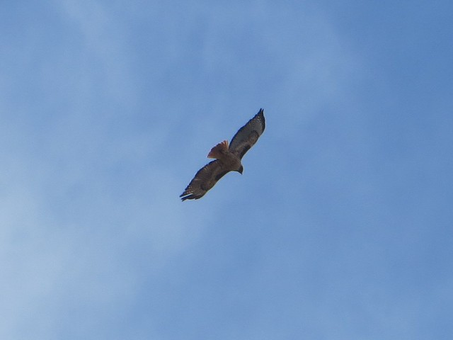 young hawk in flight