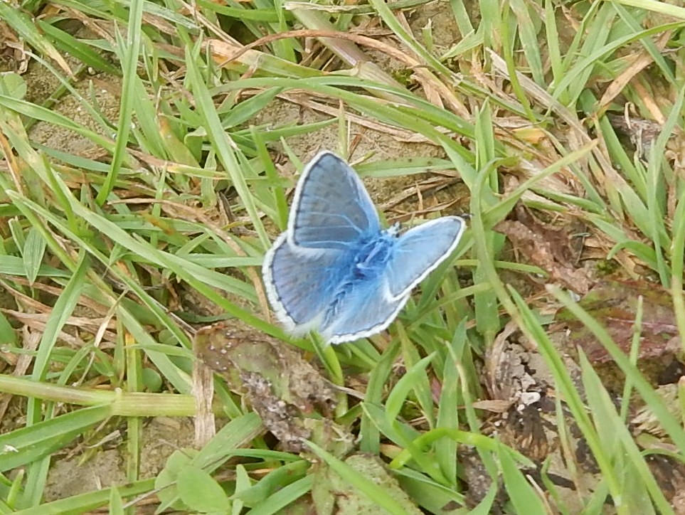 Common blue (sticking my head over the parapet here, bound to be a small-something-else) Saunderton Circular via West Wycombe