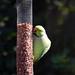 Parakeet (49) Taken through Caravan Window