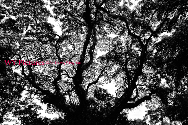 2018. Singapore. Fort Canning. Large Tree Silhouette.