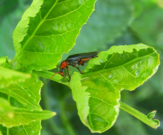 Soldier beetle:  23.5.18.