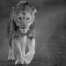 Lion (© Jonathan Lewis)