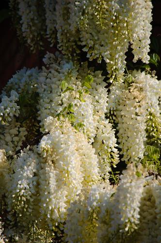 White wisteria flowering
