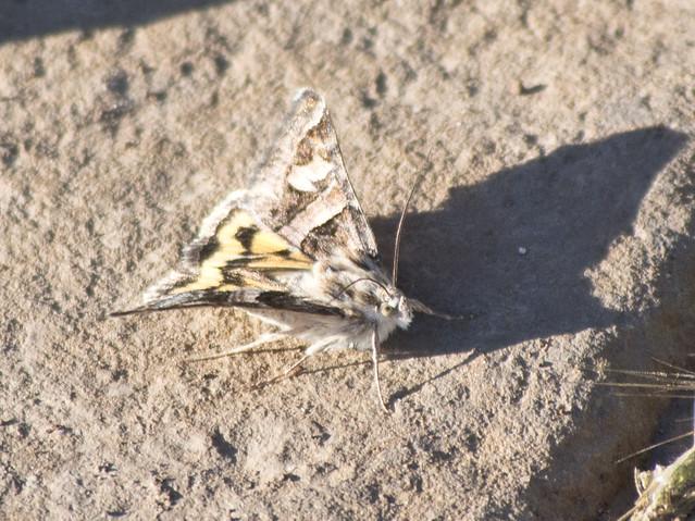 Noctuid Moth, Coldwater Canyon, Olympus E-M5, Lumix G Vario 100-300mm F4.0-5.6 Mega OIS
