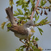 whitethroat 14 2018