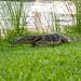 Bandvaran (Varanus salvator)