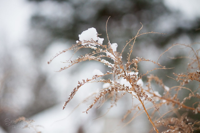 Grasses & Snow