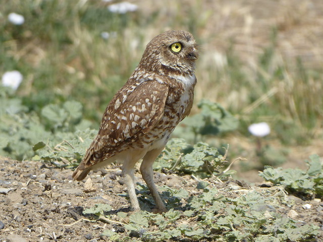 Burrowing Owl in Yolo, Panasonic DMC-ZS50