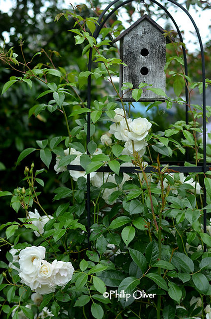 rose-climbing-iceburg