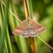 Small Purple-barred - Phytometra viridaria