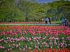 Photo:チューリップの花園で VI By jun560
