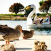 Geese Southport Marine Lake