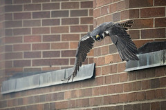 Falcon Banding-21