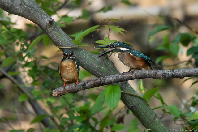 20180602-kingfisher-DSC_3948