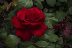 Red rose @NYBG