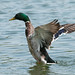 Duck flapping wings  8