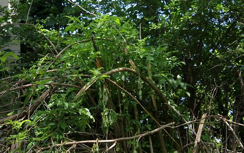 Sambucus nigra et cultivars - sureau noir - Page 3 28548978088_f776fd2867