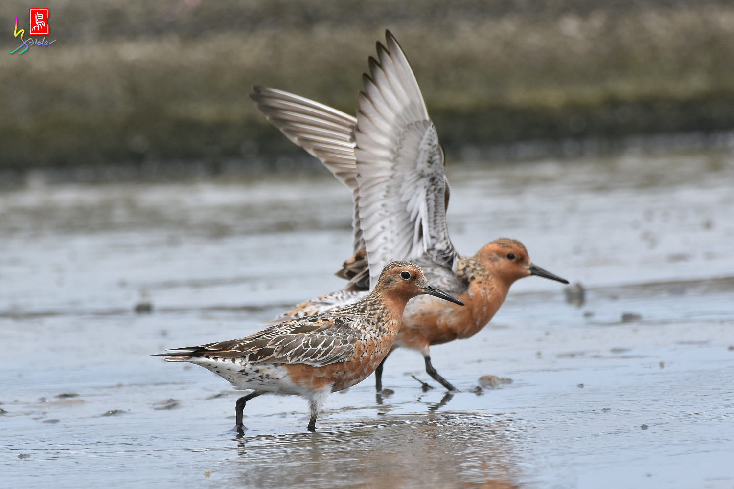 Red_Knot_0280