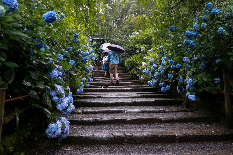 北鎌倉 紫陽花