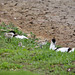 20180516 Avocet And Chicks Nest Upton Warren Worcestershire