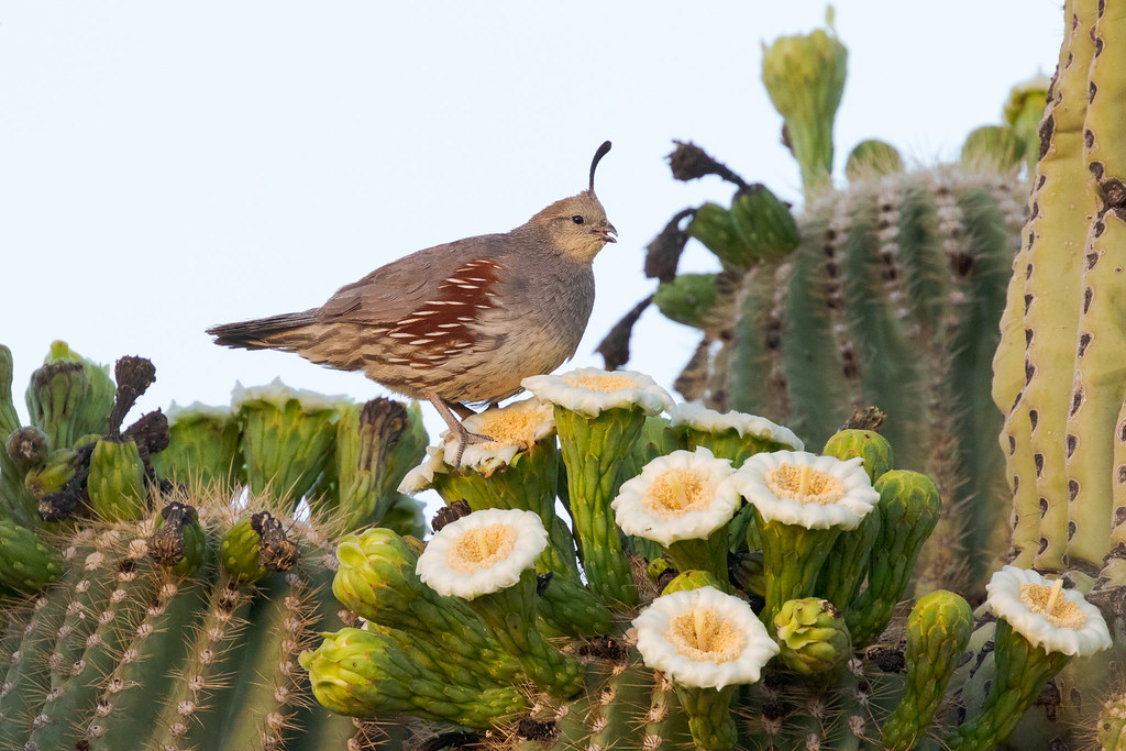 A female Gambel's quail eats from saguaro blossoms in the Brown's Ranch section of McDowell Sonoran Preserve in Scottsdale, Arizona