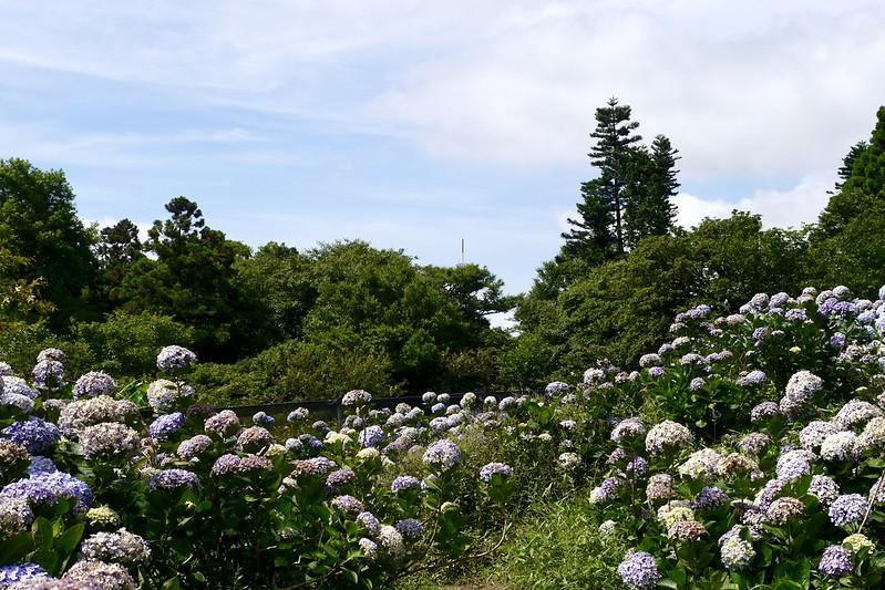 午後陽光繡球花田