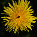 Dandelion with fly