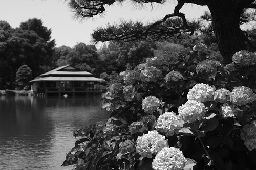 Kiyosumi Garden hydrangea