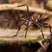 southern wood ant, Formica rufa, worker