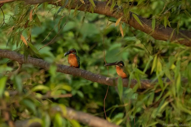 20180527-kingfisher-DSC_2803