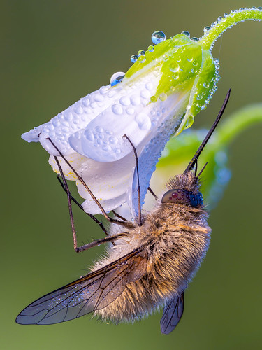 The Large Bee-Fly