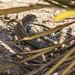 spotted lizard por ikarusmedia