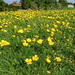 2018-06-05 (Day 156) Buttercups