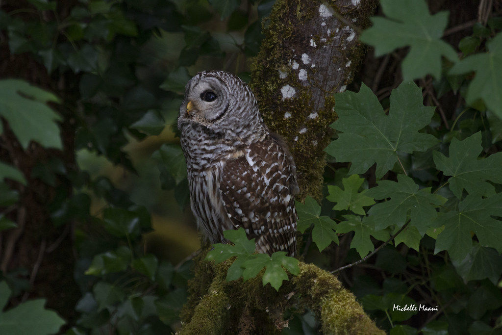 This is the reason all the jays were screaming | Barred Owl