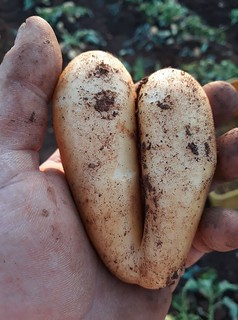 patata polignano