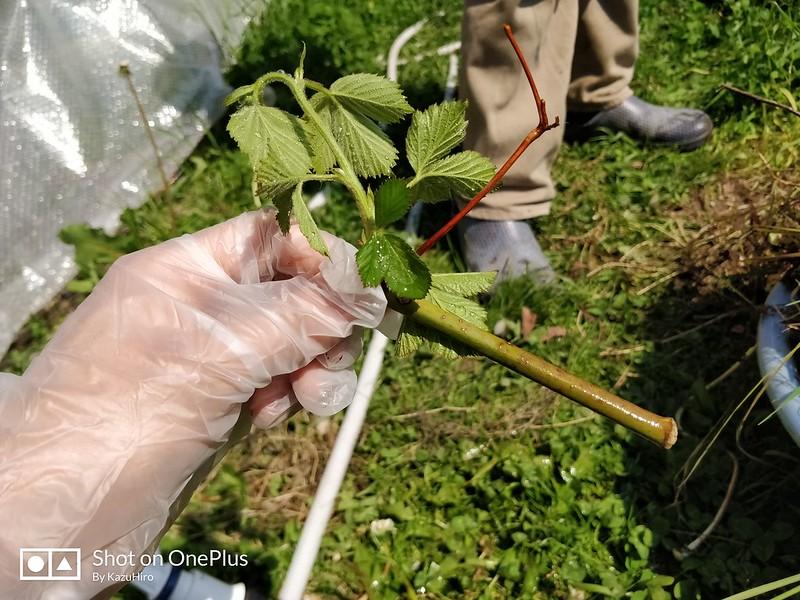 ブラックベリーの苗を作る (15)