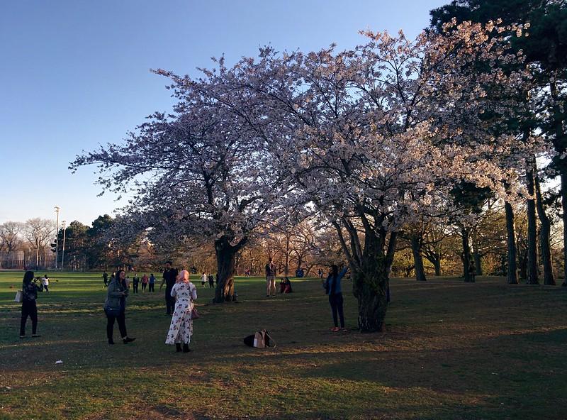 Sakura from the north (2) #toronto #highpark #sakura #cherryblossom #latergram