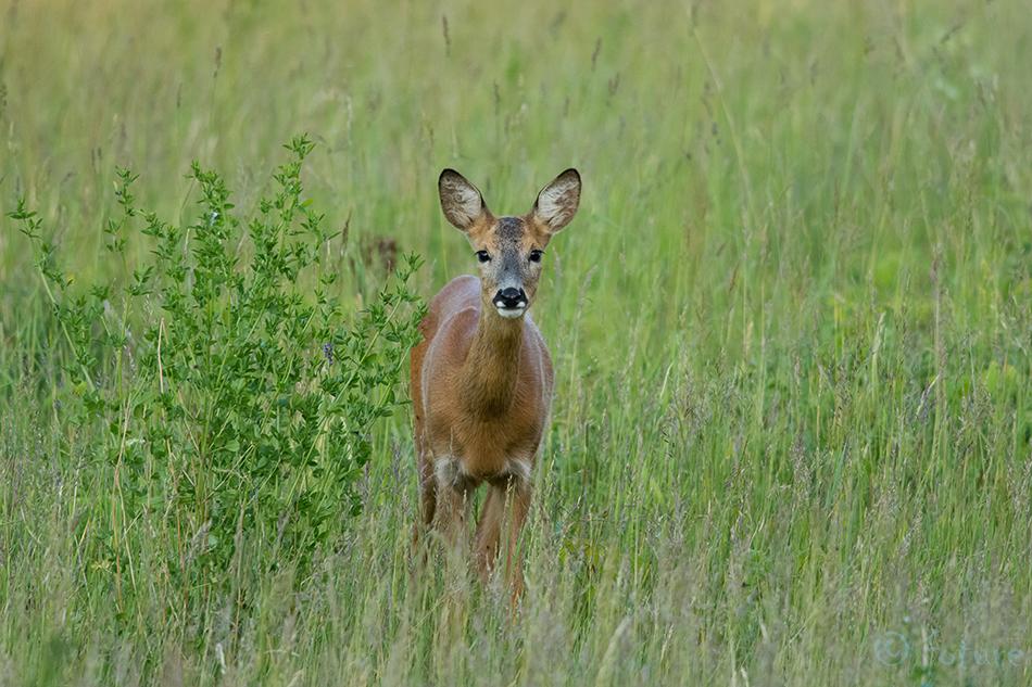 Metskits, Roe, deer, Capreolus, Estonia, doe, kits, Kaido Rummel